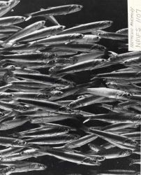 A school of northern anchovy Photo