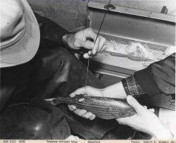 Tagging striped bass Photo