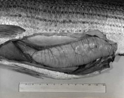 A large striped bass ovary used in study of fecundity Photo