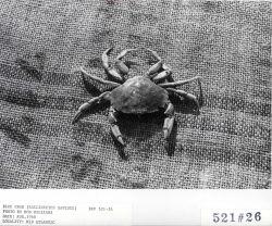 Blue crab (Callinectes sapidus) Photo