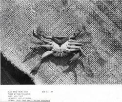 Blue crab (Callinectes sapidus) with eggs Photo