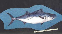 Fish art - Atlantic bonito (Sarda sarda) Photo