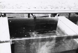 A chinook salmon in position between electrodes of the electroparalysis unit Photo