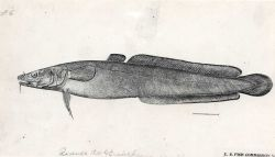 Artwork-Drawing of burbot (Lota maculosa) presently called (Lota lota) Photo