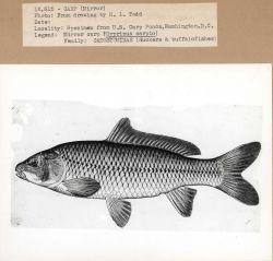 Artwork - Mirror carp (Cyprinus carpio) Photo