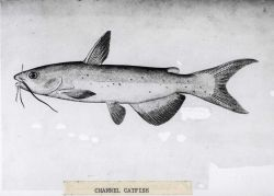 Artwork - channel catfish (Ictalurus punctatus) Photo