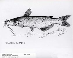 Artwork - Channel catfish, drawing by G Photo