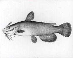 Artwork - Brown bullhead catfish (Ameiurus nebulosus) Photo