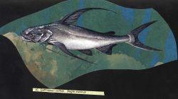Artwork - gafftopsail catfish (Bagre marinus) Photo