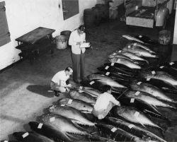 Scientists inspecting tuna caught commercially Photo