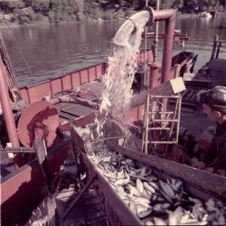 Alewife fishing - Pumping alewives from hold of commercial trawler Photo