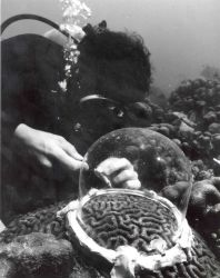 Scientist studying brain coral Photo