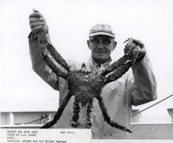 Bering Sea king crab average 7 to 8 pounds total weight; recoverable meat is between 20 and 25 percent Photo