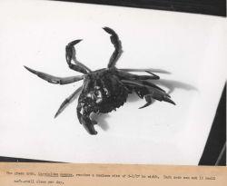 The green crab (Carcinus maenus) reaches a maximum size of 3.5 inches in width Photo