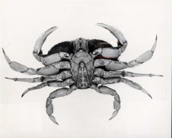 Male dungeness crab (Cancer magister) Photo
