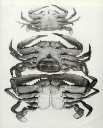 The sex of the blue crab is easily recognizable by the shape of the abdomen Photo