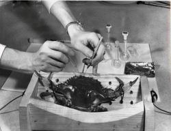 A biologist of the Bureau of Commercial Fisheries collecting urine from a blue crab for use in a study of the composition of body fluids Photo
