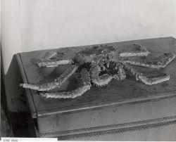 Close-up of Alaska king crab captured during FWS 1940 King Crab Expedition. Photo