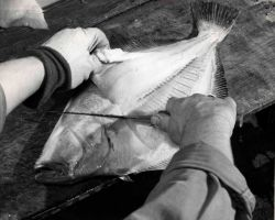How to fillet a flatfish Photo