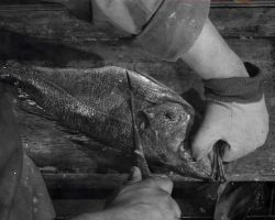 How to fillet rockfish - Hold fish with head away from you to begin first cut on left hand side Photo