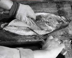 How to fillet rockfish - Third cut - left hand side Photo