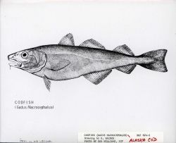 Artwork - Alaska codfish (Gadus macrocephalus) Photo