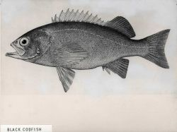 Artwork - Priestfish or black codfish (Sebastes mystinus) Photo