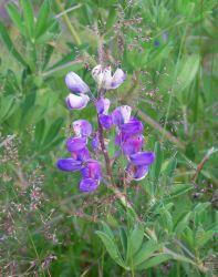 Purple and white wildflowers. Photo