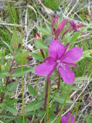 A beautiful purple Arctic wildflower. Photo