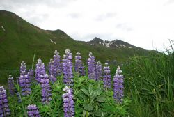 A beautiful stand of purple lupin wildflowers with Aleutian mountains in the background. Photo