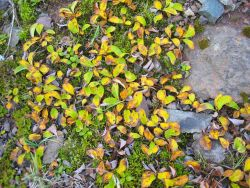Groundhugging deciduous plant with leaves turning yellow in early autumn. Photo