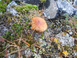 Arctic mushrooms are the reproductive part of a soil fungus that acts as a decomposer. Photo