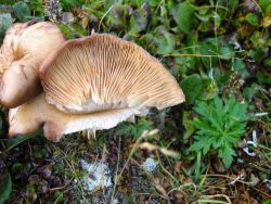 Arctic mushrooms are the reproductive part of a soil fungus that acts as a fungus that acts as a decomposer. Photo