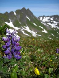 Purple lupine. Photo