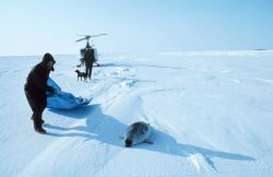 Brendan Kelley preparing to capture a ring seal north of Prudhoe Bay on the frozen Bering Sea Photo