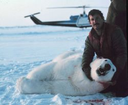 Lieutenant Eric Davis, Bell UH-1M helicopter pilot, supporting sedated polar bear's head, after placing an identification tag in its ear. Photo