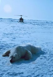 Sedated polar bear with NOAA Bell UH-1M. Photo