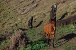 Horse following trail through the moai of the Rano Raraku quarry. Photo