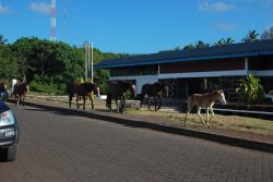 Horses taking the right-of-way in Hanga Roa Photo
