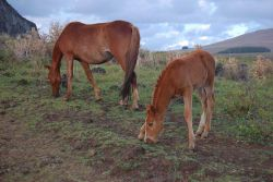 Horses at the Rano Raraku quarry Photo