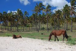 Horses in paradise at Anakena Beach Photo