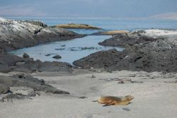Sea lion, marine iguanas, and sally lightfoot crabs co-existing on the beach at Punta Espinosa. Photo