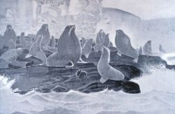 A group of sea lions (Eumetopias stelleri) at St Photo
