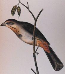 Pipilo mesoleucus, Baird Photo