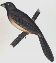 Pipilo abertii, Baird Photo