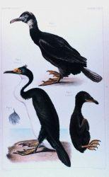 Phalacrocorax verrucosus -- a type of cormorant Photo