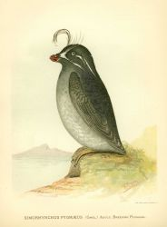 Adult whiskered auklet (Simorhynchus pygmaeus) in breeding plumage, in: