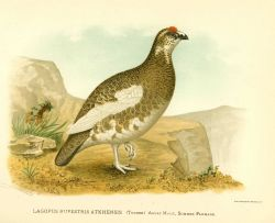 Adult male ptarmigan (Lagopus rupestris) in summer plumage, in: