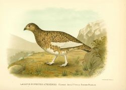 Adult female ptarmigan (Lagopus rupestris) in summer plumage, in: