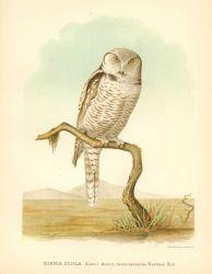 Adult northern hawk owl (Surnia ulula) in: